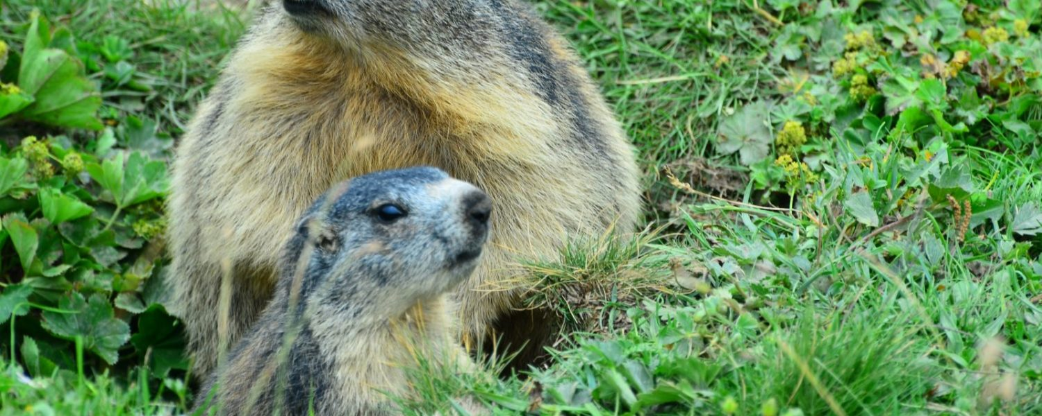 famille marmottes